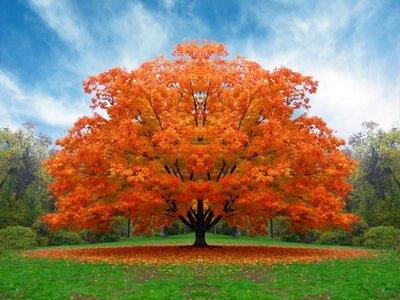 Oak Tree with Orange Leaves